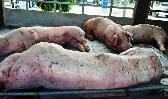 Lợn dịch tả 'lọt' chốt kiểm dịch, bán cho nhiều điểm ở tỉnh Quảng Nam